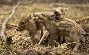 Picture kids, wild boar, hog