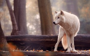 Picture forest, white, trees, nature, wolf, predator, bokeh