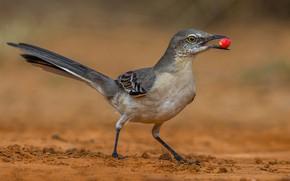 Picture bird, beak, tail, polyphonic Mockingbird