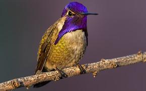 Picture bird, branch, beak, Hummingbird, Calypte Costa