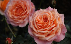 Picture macro, roses, petals, Bud