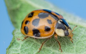 Picture ladybug, insect, Ladybird-harlequin