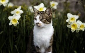 Picture cat, eyes, cat, look, face, flowers, nature, background, portrait, spring, garden, unhappy, flowerbed, striped, daffodils, ...