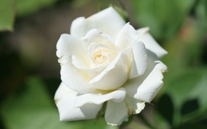 Picture tenderness, blurred background, white rose