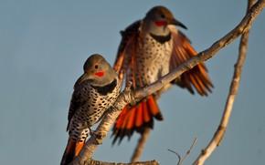 Picture bird, branch, pair, Golden silkly woodpecker
