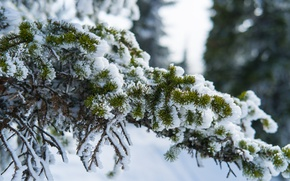 Picture snow, nature, branch, ate, Sheregesh