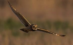 Picture flight, owl, bird, wings
