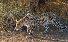 Picture nature, leopard, sneaks