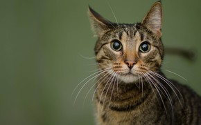 Picture cat, eyes, cat, look, face, grey, background, portrait, striped, wild