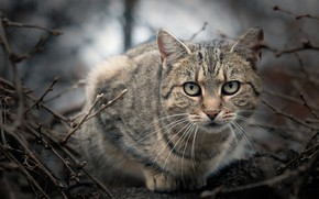 Picture cat, look, branches, grey, muzzle, bokeh