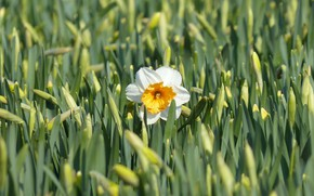 Picture flower, nature, spring, flowering, Narcissus