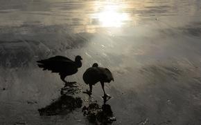 Picture birds, nature, Blik, American black catart
