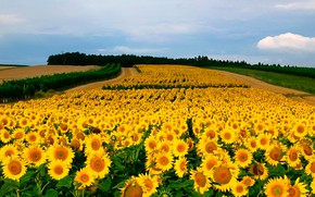 Picture field, sunflowers, yellow, bokeh