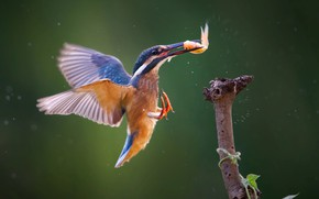 Picture fish, Kingfisher, kingfisher, catch