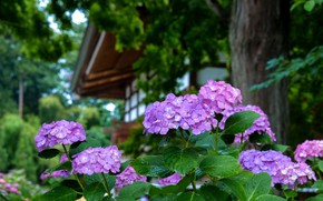 Picture Japan, hydrangea, in the garden, drops