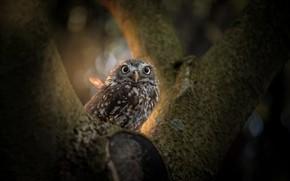 Picture tree, owl, bird, bokeh