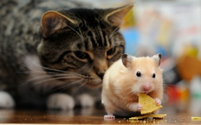 Picture cat, cat, the situation, hamster, ambush, observation, lunch, rodent, chips