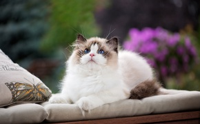 Picture cat, look, pillow, blue eyes, face, fluffy cat, ragdoll