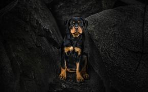 Wallpaper stones, puppy, Rottweiler, look, dog