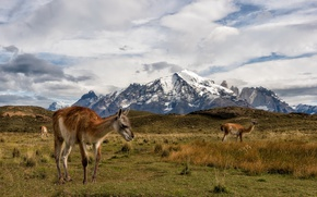 Picture Lama, Chile, Torres del Paine