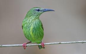 Picture bird, branch, beak, turquoise tanager-honeyeater
