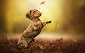 Picture autumn, leaves, dog, stand, bokeh, Dachshund