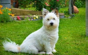 Picture Grass, Dog, The West highland white Terrier