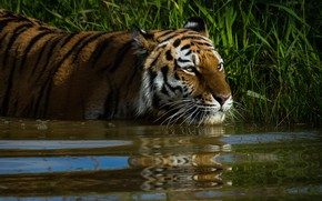 Picture grass, look, face, water, cats, tiger, reflection, background, thickets, shore, bathing, wild cats, pond, wildlife