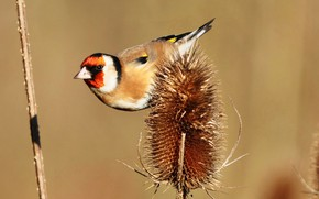 Picture bird, plant, beak, tail, goldfinch