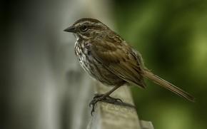Picture birds, Sparrow, bokeh