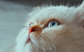 Picture cat, look, muzzle, blue eyes, Himalayan cat