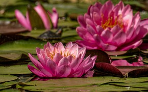 Wallpaper flowers, flowering, water Lily, pink, water lilies, leaves