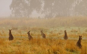 Picture nature, fog, Australia, haze, National Park, giant kangaroo, Kosciuszko