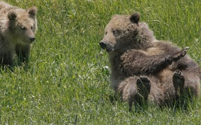 Picture grass, bears, bear, bear, Grizzly