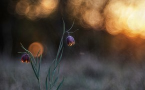 Wallpaper spring, chess grouse, light, bokeh, macro, flowers