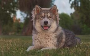 Picture look, portrait, dog, Malamute
