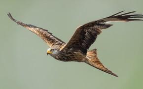 Picture look, flight, bird, eagle, flies, bird, flight, eagle, sight, flies