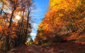 Picture autumn, forest, trees, Bulgaria, Bulgaria, Plovdiv, Borovo, Borovo