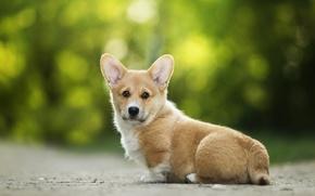 Picture each, ears, dog, Welsh Corgi