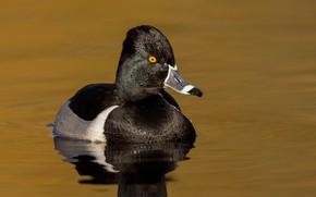 Picture bird, beak, duck, pond, tufted duck collared