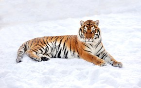 Picture winter, snow, nature, tiger, predator, lies, resting
