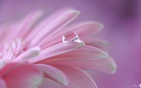 Wallpaper pink, drop, petals, flower
