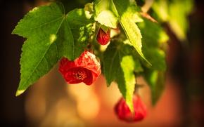 Picture Spring, Spring, Flowering, Bokeh, Bokeh, Red flowers, Flowering, Abutilon, Red flowers, Abutilon