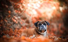 Picture autumn, dog, bokeh, boxer