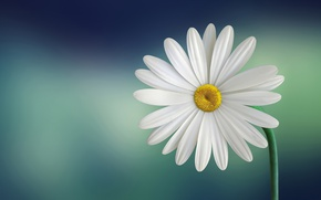 Picture flower, close-up, plant, Daisy, stem, Flowering, flora, Daisy