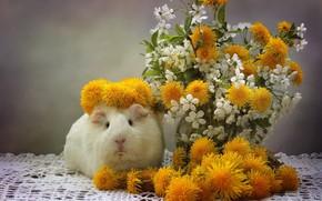 Picture flowers, Guinea pig, dandelions, wreath