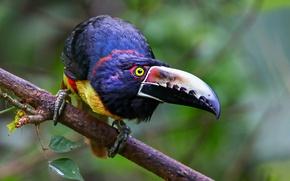 Picture bird, beak, Toucan, collared aracari