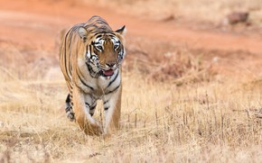 Picture nature, tiger, animal