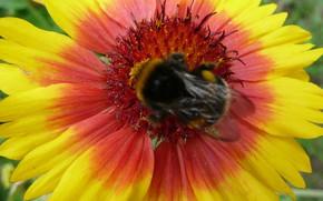 Picture flower, bumblebee, hana, by ho4hoj