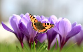 Picture macro, butterfly, spring, crocuses, saffron